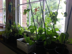 A Growing Chefs classroom garden.