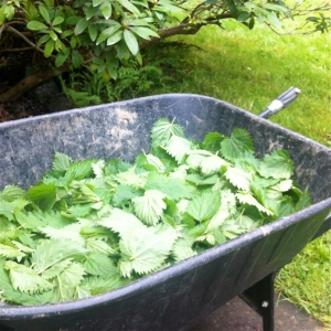 A wheelbarrow of nettles